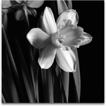 DAFFODIL preview