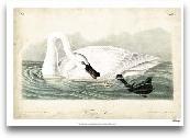 Trumpeter Swan I