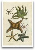 Starfish Illustre