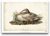 Trumpeter Swan II