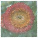 Lyon Flower III