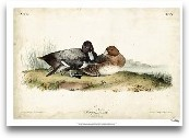 Audubon Ducks IV