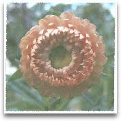 Lyon Flower II