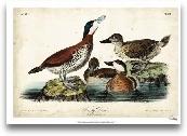 Audubon Ducks II