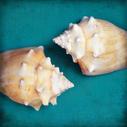 Two Shells I